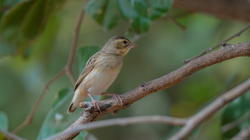 Female Black Winged Red Bishop - The Gambia 2020