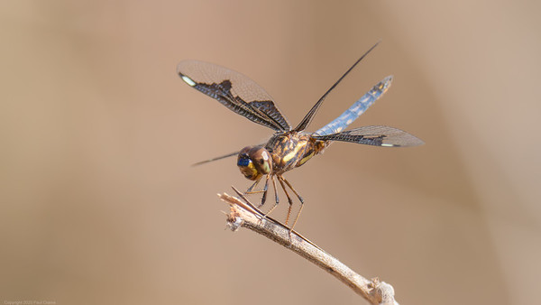 Portia Widow Dragonfly  -  The Gambia 2020