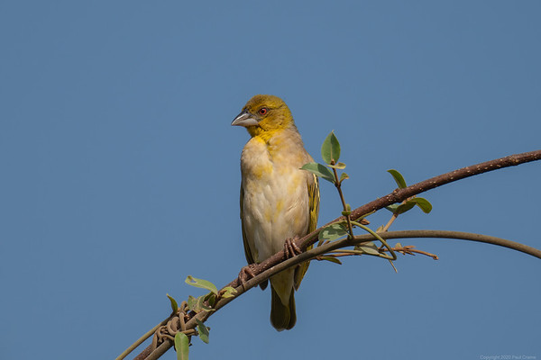 Village Weaver - most common bird  - The Gambia 2020