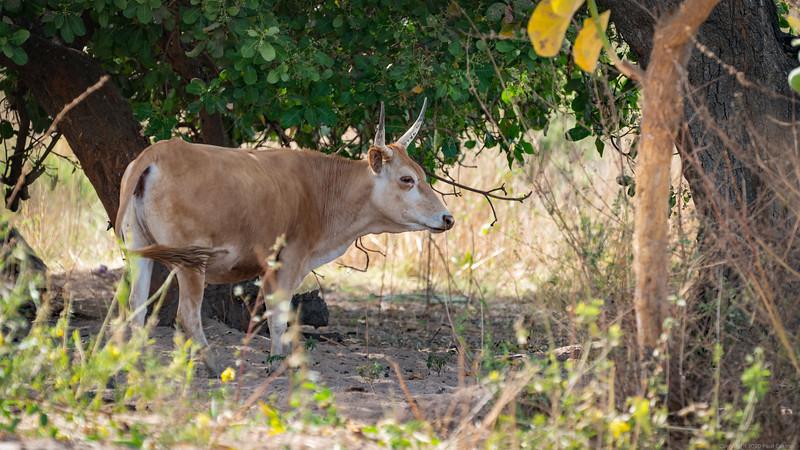 Kotu Cow - The Gambia 2020