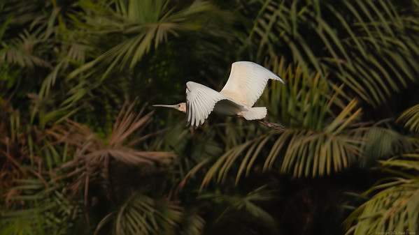 Spoonbill In Flight - lovely background - The Gambia 2020