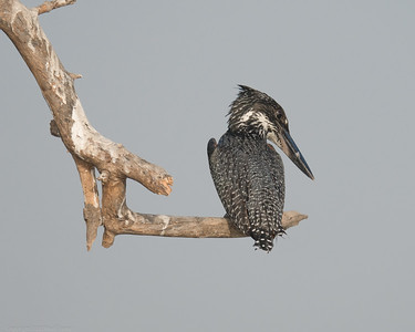 Giant Kingfisher Looking Down - The Gambia 2020