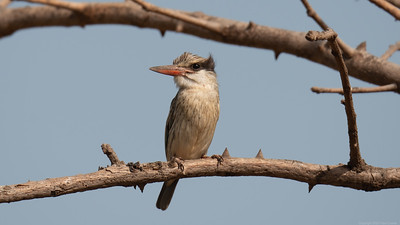 Striped Kingfisher 4 - The Gambia 2020