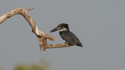 Giant Kingfisher Sat 2 - The Gambia 2020