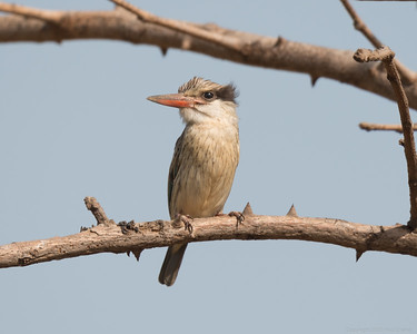 Striped Kingfisher - The Gambia 2020