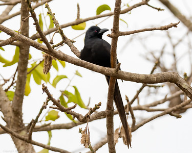 Fork Tailed Drongo - The Gambia 2020