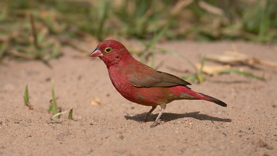 Red Billed Firefinch -  The Gambia 2020