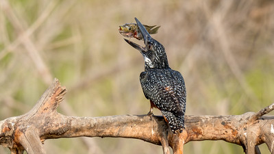 Giant Kingfisher with Fish - The Gambia 2020