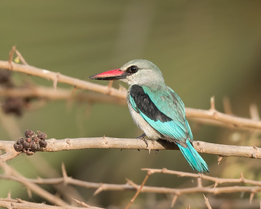 The Woodland Kingfisher 2 - The Gambia 2020