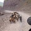 A lost herd Tajikstan.