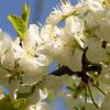 appelbloesem in eigen bomen