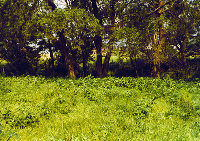 View of overgrowth of Elm Creek on Land 1975