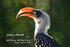 0932 Jackson's Hornbill