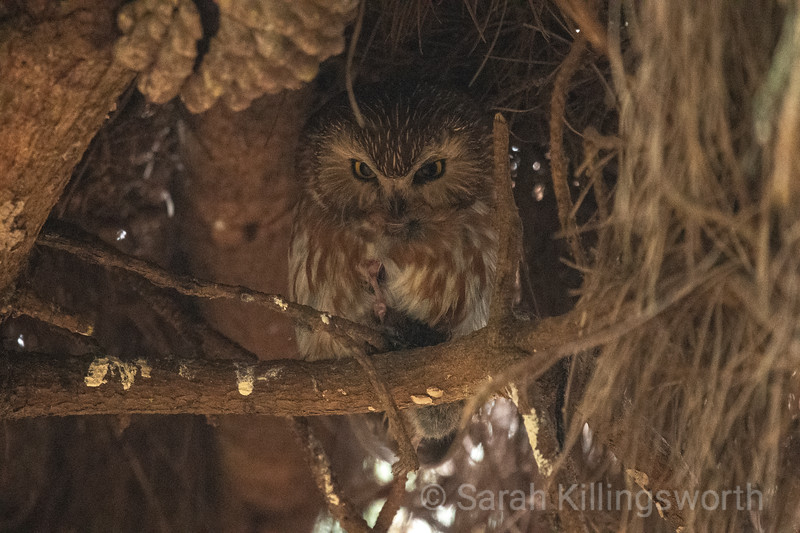 northern saw whet owl with prey