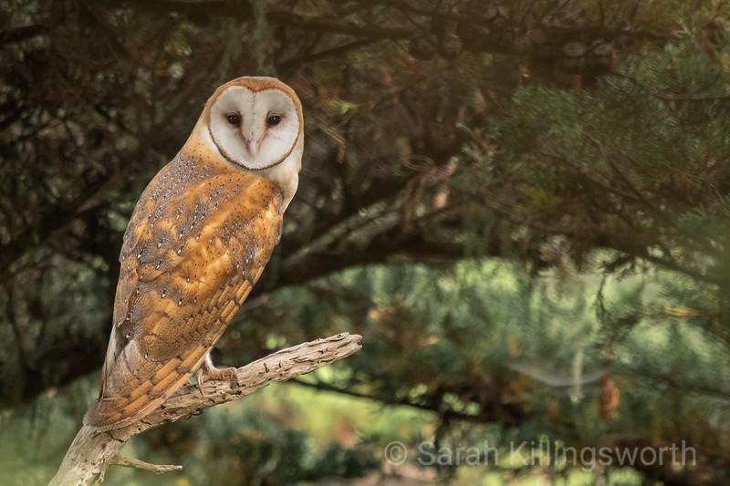 barn owl gaze