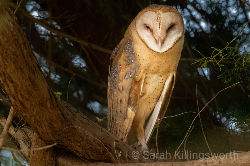 a barn owl in the shadows of the tree limbs