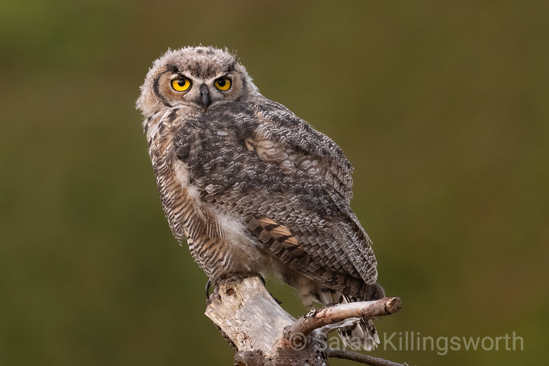 a great horned owlet waiting for mom to bring back a meal at sunset