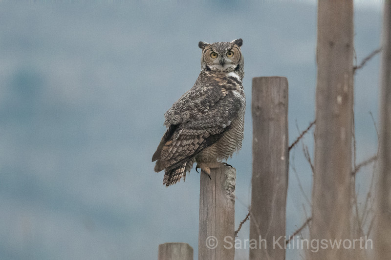 great horned owl in the smoke