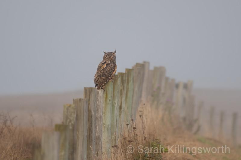 foggy morning owl