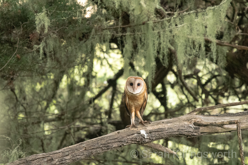 barn owl with lichen