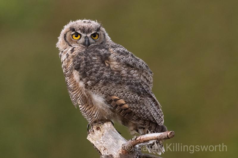 evening owlet