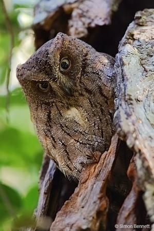 Tototoroka Scops-Owl