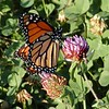 I was taking pictures of Monarch Butterflys