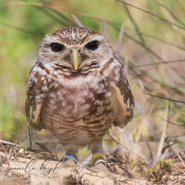 Burrowing Owl (black eyed variant)<br /> Lee county, FL<br /> Cape Charlotte