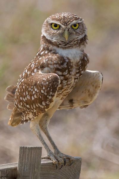Burrowing Owl<br /> Location: Lee county, FL