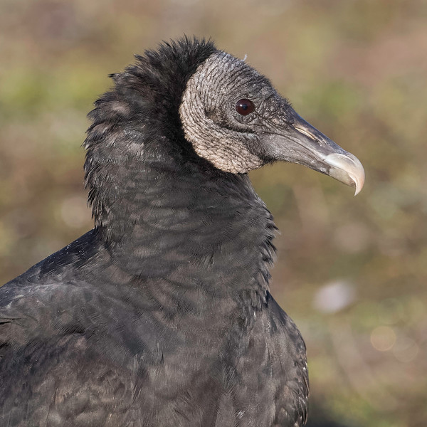 Black Vulture<br /> Location: Sarasota County, FL