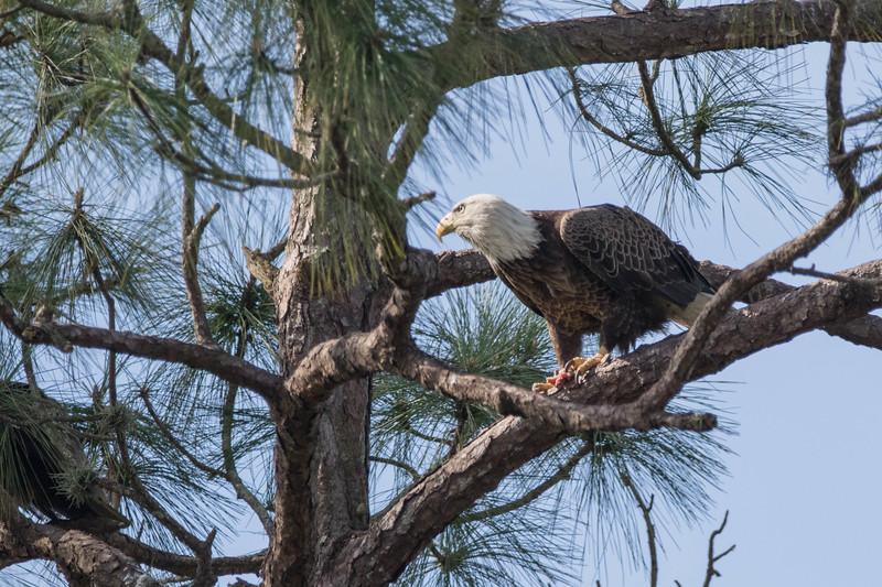 Bald Eagle<br /> Location:  Sarasota county, FL