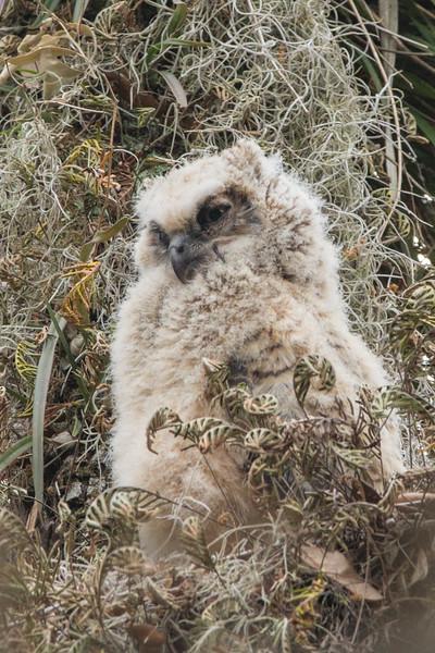 Great Horned Owl (owlet)<br /> Location: Polk county,  FL