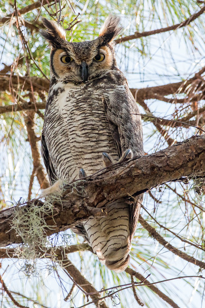 Great Horned Owl<br /> Location:  Manatee county,  FL
