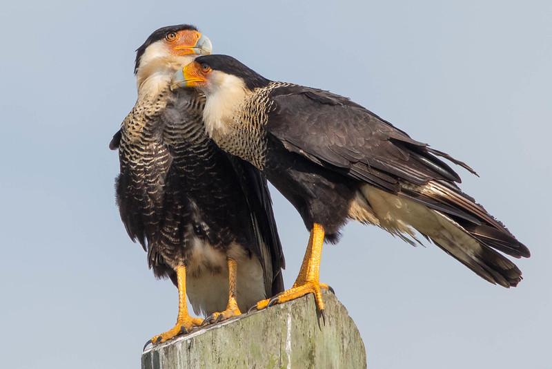 Crested Caracaras<br /> Location:  Sarasota county, FL