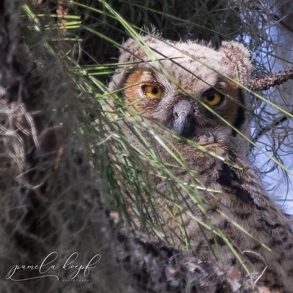 Great Horned Owl<br /> Manatee county, FL<br /> Felt's Audubon Preserve