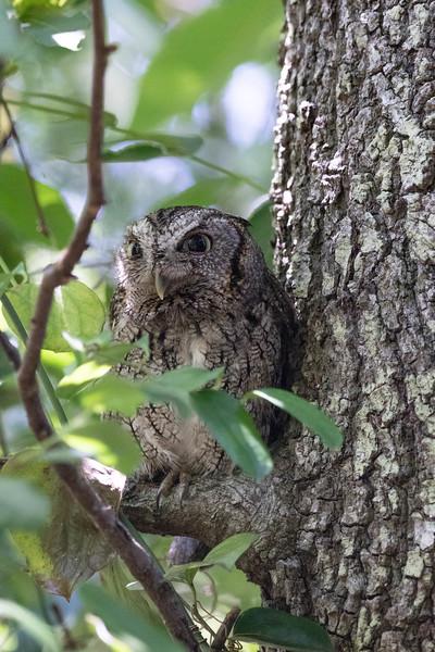 Eastern Screech Owl<br /> Location:  Sarasota county, FL