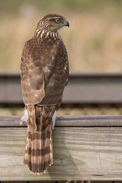 Cooper's Hawk<br /> Location:  Sarasota county, FL