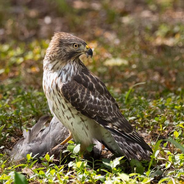 Red-shouldered Hawk with prey<br /> Sarasota county, FL<br /> Bay Street Park