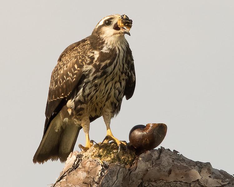 Snail Kite<br /> Sarasota county, FL<br /> Oscar Scherer State Park