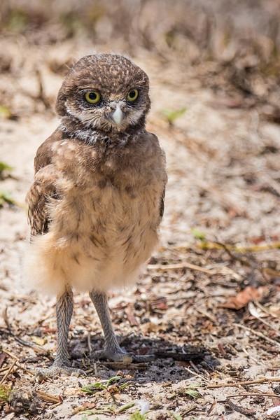 Burrowing owlet<br /> Location: Lee county, FL