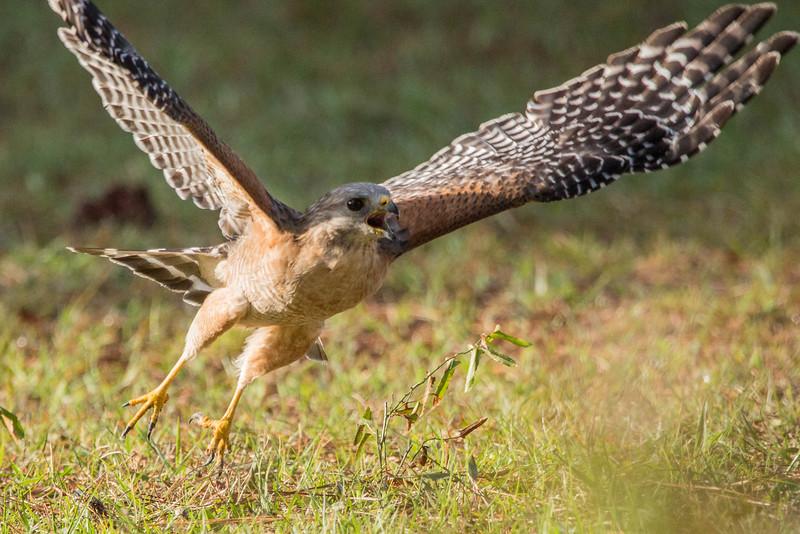 Red-shouldered Hawk<br /> Location:  Sarasota county, FL