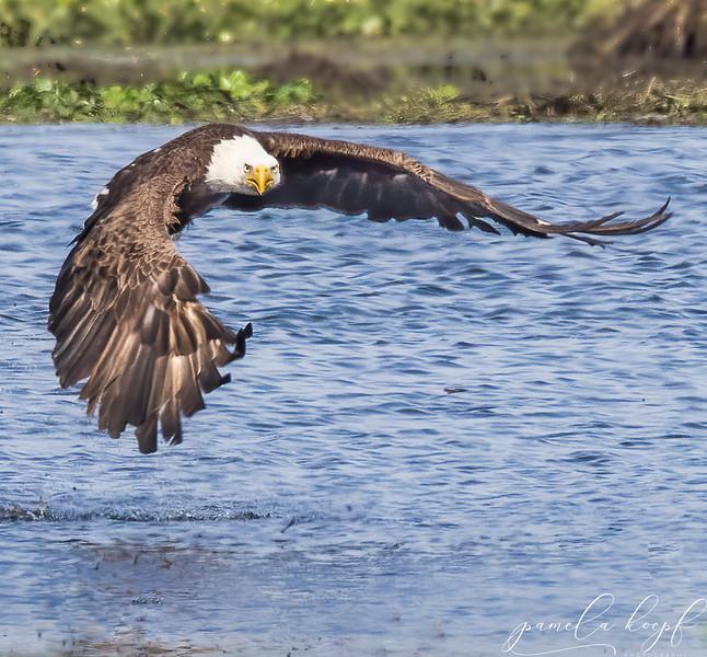 Bald Eagle<br /> Sarasota County