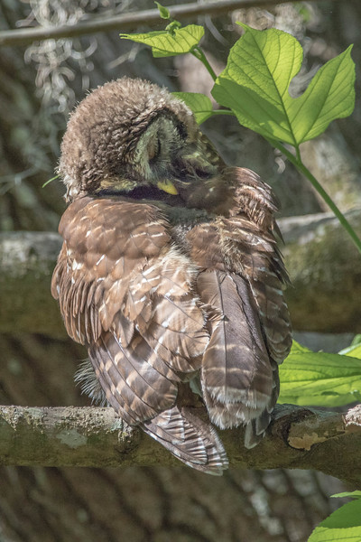 Barred Owl<br /> Location:  Sarasota county, FL