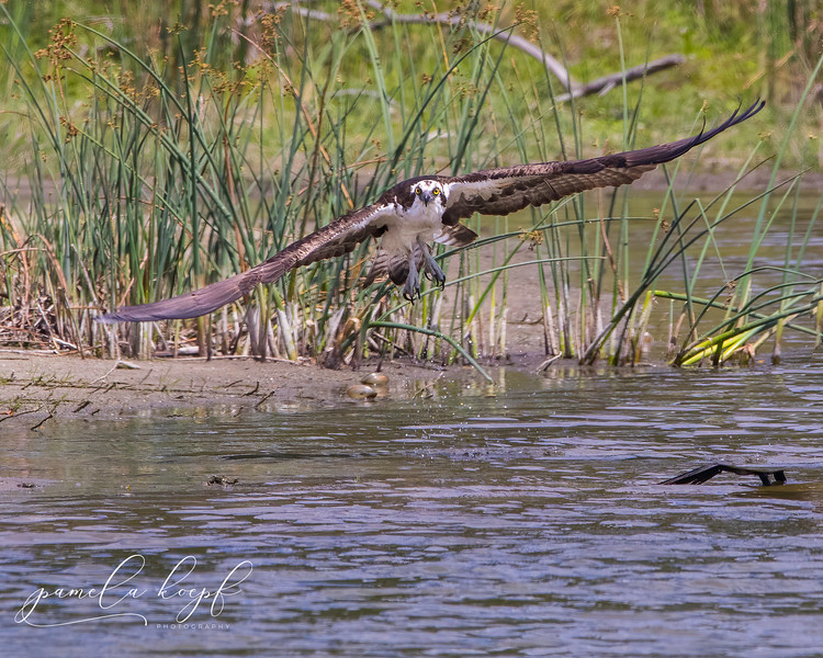 Osprey<br /> Sarasota County