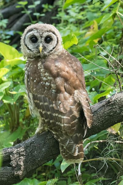 Barred Owl (Immature)<br /> Location: Sarasota county, FL