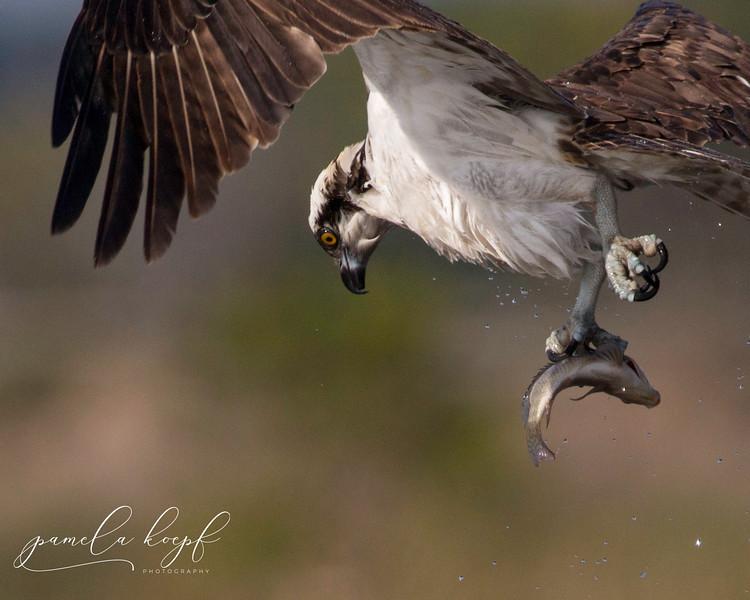 Osprey<br /> Sarasota county, FL<br /> Celery Fields
