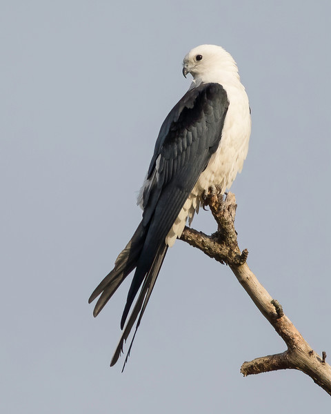 Swallow-taied Kite<br /> Sarasota County