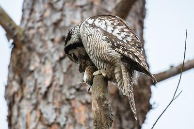 Northern Hawk-Owl - Lunch