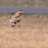 Short-eared Owl - Mosehornugle