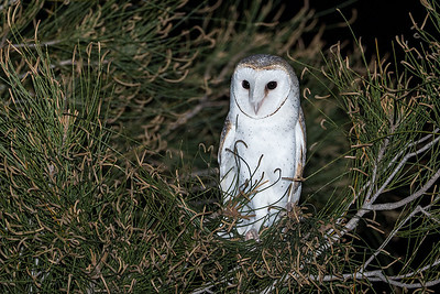 Eastern-Barn-Owl-release-for-WIRES_AGL4451